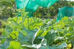kale стоковая фотография rf