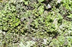 kale Photos stock