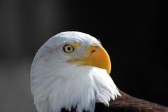 kale adelaar Stock Afbeelding