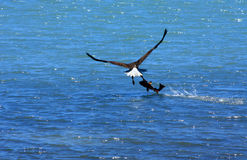 Kale Adelaar die met grote vissen wegvliegt Royalty-vrije Stock Foto's
