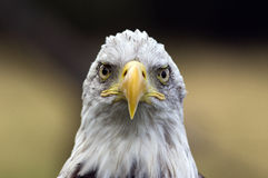 Kale adelaar - een vogel met een houding Stock Fotografie