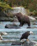 Kale adelaar en grizzly visserij stock foto