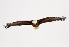 Kale adelaar tijdens de vlucht Royalty-vrije Stock Foto's