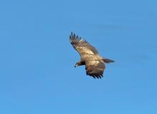 Kale adelaar tijdens de vlucht Royalty-vrije Stock Fotografie