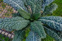 Kale cabbage, close up at the allotment. Stock Photography