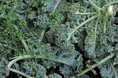 Kale cabbage Stock Image