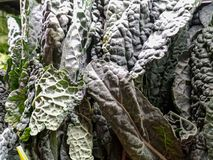 Kale cavalo nero cabbage on display at the local market royalty free stock images