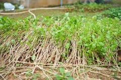 kale chiński warzywo Zdjęcie Stock