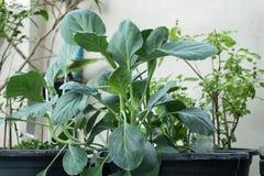 Kale chinês Imagem de Stock