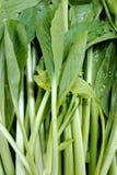 Kale chinês Foto de Stock Royalty Free