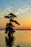 Kale Cipresbomen, Reelfoot-Meer, Tennessee State Park Stock Fotografie