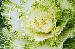 Kale Closeup Stock Photo