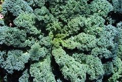 Kale com folhas Curly Fotos de Stock