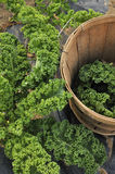 Kale crop Royalty Free Stock Photo