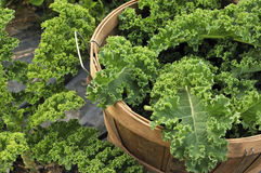 Kale crop. Home grown Organic Kale being harvested stock image