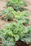 Kale. Crop in a garden Stock Photography