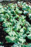 Kale crops. 'Red Russian' kale plants in a greenhouse royalty free stock photography