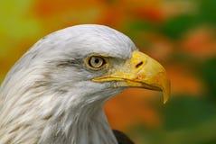 Kale Eagle Haliaeetus-leucocephalus in Brits Colombia, Canada stock fotografie