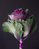 Kale edible flower still life Stock Image
