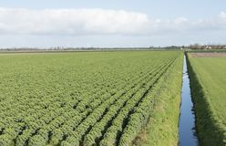 Kale field in the dutch province of flevoland Royalty Free Stock Photos