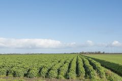 Kale field in the dutch province of flevoland Stock Images