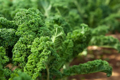 Kale in garden. Kale in an organic garden Royalty Free Stock Photos