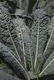 Kale in the garden Stock Images