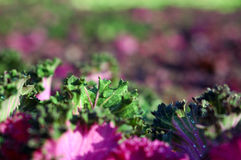 Kale Growing Stock Image