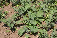 Kale growing in a land, field, or garden Royalty Free Stock Images