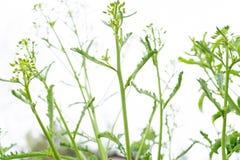 Kale i?? sia?, z kwiatami woko?o tworzy?, reprezentuj?cy nasieniodajnego oszcz?dzanie jako jarzynowego ogrodnictwa styl ?ycia bia obraz royalty free