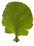 Kale Leaf Stock Photography