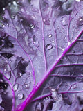 Kale Leaf. Close shot of purple kale leaf with water drops Stock Photos