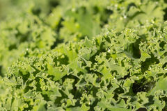 Kale leaves Stock Photos