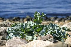 Kale leaves growing in the garden, sunny summer day. Stock Photography