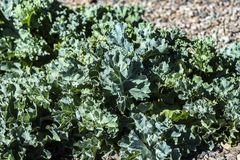 Kale leaves growing in the garden, sunny summer day. Royalty Free Stock Photos