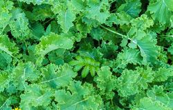 The kale leaves grown in the open air garden in the village royalty free stock photo