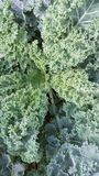Kale. So live fresh and full of life Royalty Free Stock Photography