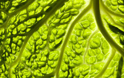 Kale in minimal. Close-up of a kale vegetable for backgrounds Royalty Free Stock Images