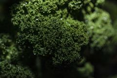Kale with morning dew, macro. stock photo