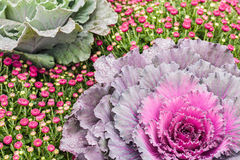 Decorative Kale and Purple Mums Stock Photo