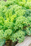 Kale. Nice young kale growing in box Stock Image