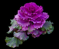Kale ornamentacyjny Fotografia Royalty Free