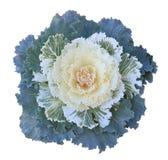 kale ornamental Zdjęcie Royalty Free