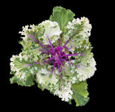 Kale ornamental Stock Photos