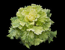 Kale ornamental Royalty Free Stock Photos