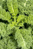 Kale Plant Royalty Free Stock Images