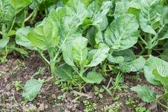 Kale plantation Stock Image
