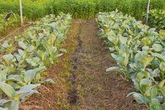 Kale plots. Royalty Free Stock Photo