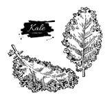 Kale ręka rysujący set Warzywo grawerujący stylowy illustratio royalty ilustracja