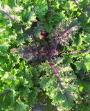 Kale with Red Stems Royalty Free Stock Images